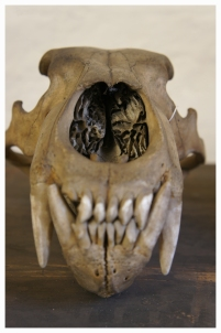 Bear skull in store of Natural History Museum Dublin